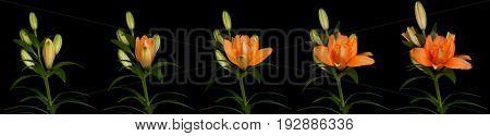 Orange lily time lapse series