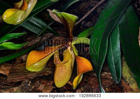 Scientific Name : Paphiopedilum Villosum (lindl.) Stein, .family Name : Orchidaceae.