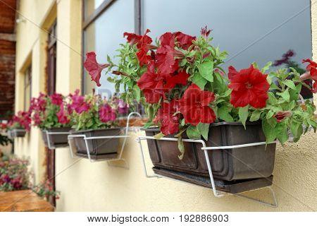 red flowering petunias, Montenegro
