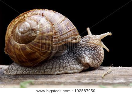 Snail On Wodden Desk.closeup. Black Background.macro Photo Of Snail