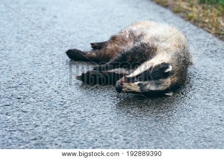 Dead badger on the road selective focus