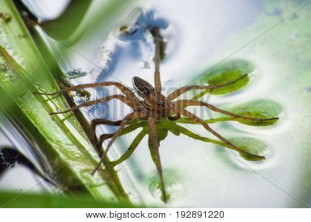Large Water Spider Dolomedes Plantarius, Close-up In A Natural Environment. Raft Spider