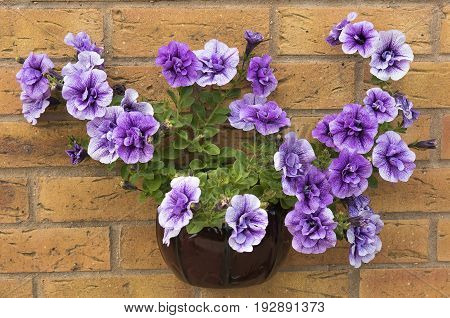 Beautiful summer flowering purple surfina petunia plants in a wall mounted container.