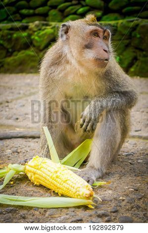Long-tailed macaques Macaca fascicularis in The Ubud Monkey Forest Temple on Bali Indonesia.