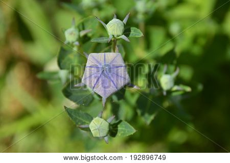 Flower buds on a perennial Campanula Carpatica plant from the Campanulaceae family also known as the Tussock Bellflower American Harebell Carpathian Harebell and Carpatian Bell Flower