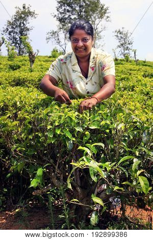 Sri Lanka Nuwara Eliya - April 04 2011 : Sri Lanka woman picks fresh tea leaves on tea plantation in Nuwara Eliya Central region Sri Lanka
