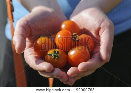 Hands of a woman holding freshly harvested cherry tomatoes