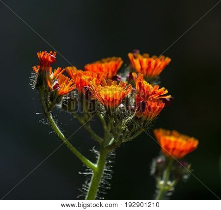 Fox and Cubs wild flowers againstdark background.