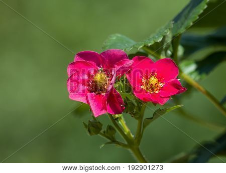 Pink Strawberry flowers in Sunlight with fruit forming.