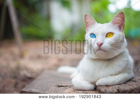 House cat Thai odd eye species with blue and yellow eyes.
