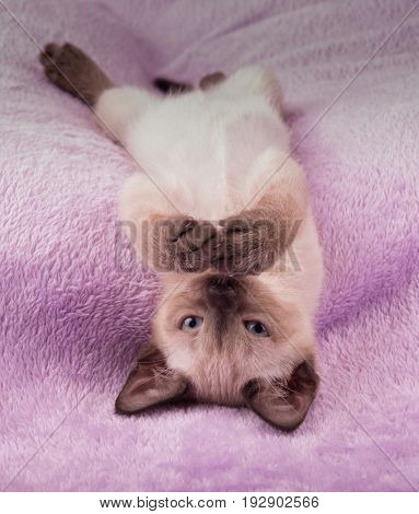 Siamese kitten upside down on a purple blanket, looking at the viewer with his paws in front of his nose