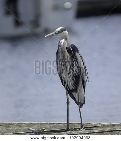 A Great Blue Heron (Ardea Herodias) standing on a dock on a lake in York County Pennsylvania.