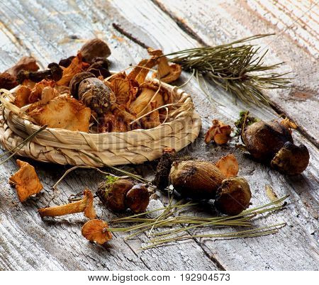 Forest Dried Mushrooms with Chanterelles Porcini Boletus Mushrooms in Wicker Plate with Pine Branches closeup Rustic Wooden background. Focus on Foreground
