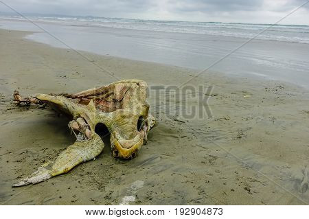 Beautiful beach with pacific ocean background, sandy surface, with a dead decomposed turtle on the sand, in Muisne Island Ecuador.