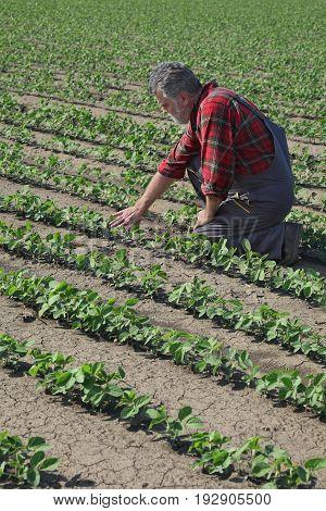 Farmer Examining Soy Bean Plant