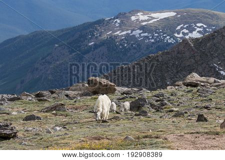 a mountain goat nanny with twin kids in the high mountains