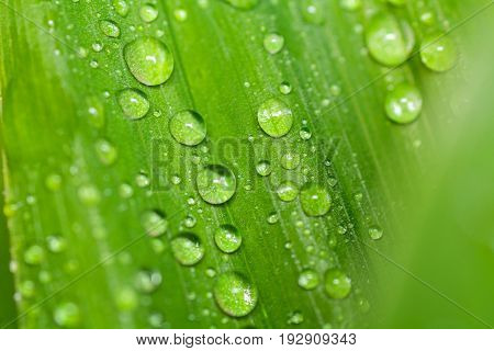Leaf with water drops. Fresh leaf of lily of the valley with dew. Drops macro. Closeup leaf
