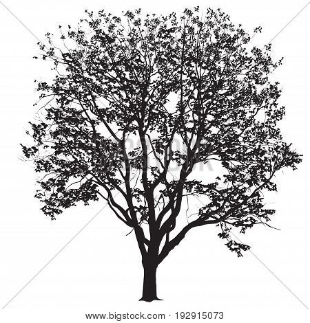 Silhouette of a big tree of an elm with leaves the black-and-white vector image on a white background