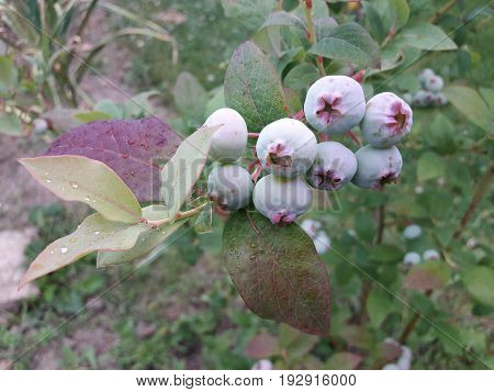 Bilberry in the garden Blueberries on a background of green leaves blueberry, bilberry, whortleberry, huckleberry, hurtleberry, blaeberry
