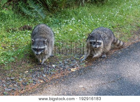 A view of two raccoons on the side of the road at Point Defiance Park in Tacoma Washington.