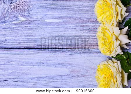 Flowering buds of a yellow rose on a white wooden background empty space on the left