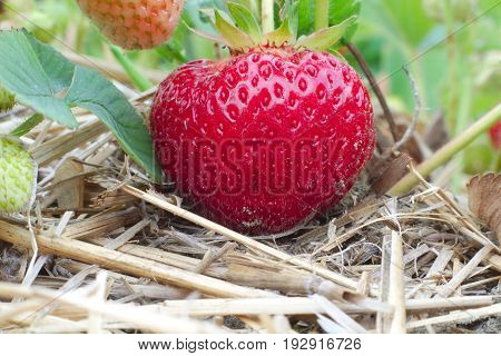 organic field strawberries fruit farm harvest no pesticide