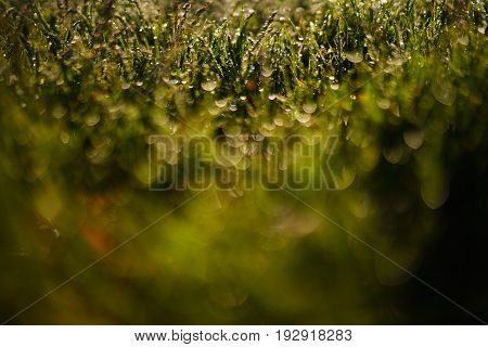 Green grass and drops of dew in the morning