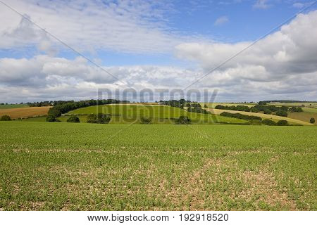 Pea Field And Scenery
