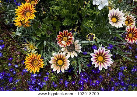 a selection of colorful gazania flowers with blue lobelia bedding plants in summer