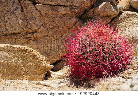 Ferocactus cylindraceus California barrel cactus producing new red growth in springtime in Joshua Tree National Park in California arid desert.