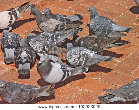 GREY CITY PIGEONS EATING BREAD CRUMBS ON THE PAVING