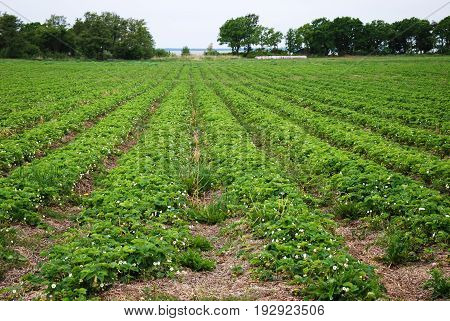Farmers field with blossom strawberries plants in rows