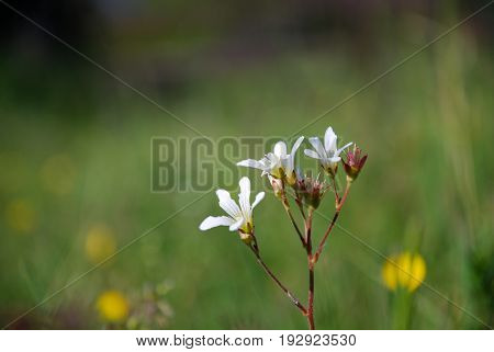 White summer flower - Meadow Saxifrage - close up by a green blurred background