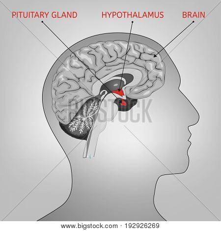 Human brain cross section schematic graphic illustration. Medical science educational image in black and white colours.