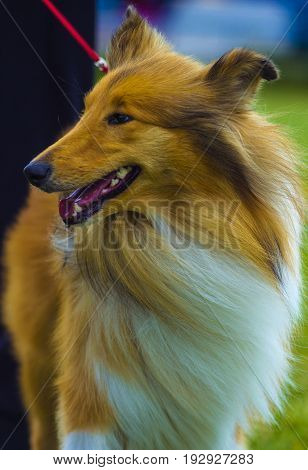 collie. Dog collie. The collie is a distinctive type of herding dog. Portrait of purebred dog Rough Collie.