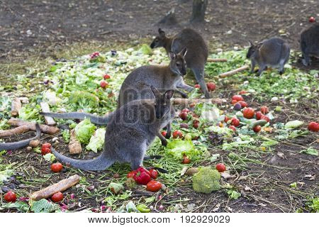 Kangaroo eating vegetables and bread in a zoo