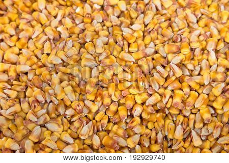A great background image this photo shows abundant dry corn kernels in brilliant shades of yellow. It symbolizes autumn and harvest time.