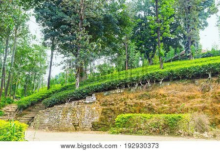 The Steep Slope With Tea Bushes