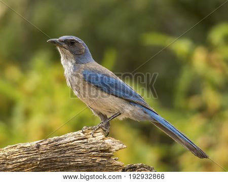 A beautiful Woodhouse's Scrub-Jay rests on a dried log as it approaches an Arizona feeding station.