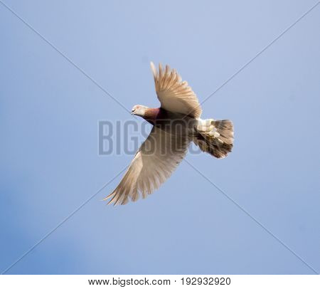 Dove flying against a blue sky with clouds .