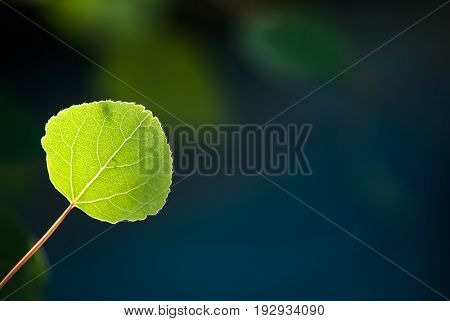 A green aspen leaf glows in the afternoon sunlight against a deep blue background.