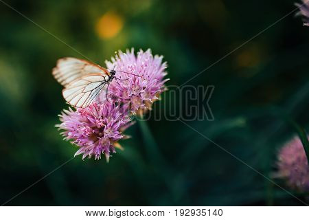 Butterfly cabbage white on a purple flower onion green onion. Summer