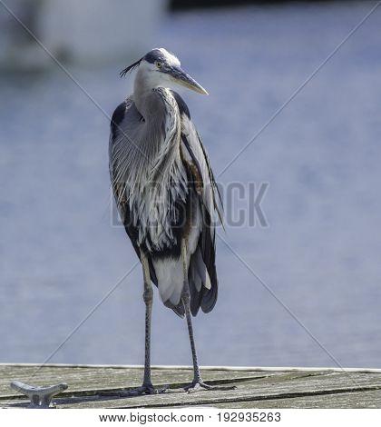 A Great Blue Heron (Ardea Herodias) a long-legged wading bird, standing on a dock on a lake in York County Pennsylvania, USA.