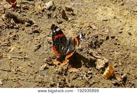 Photo of a red admiral butterfly standing on the ground