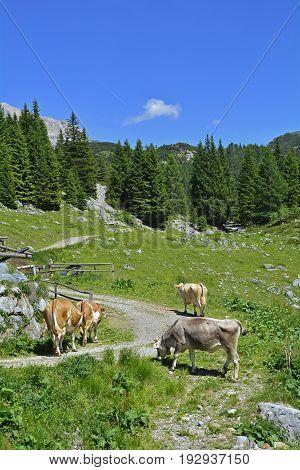 Brown and white dairy cows in a mountain summer pasture near Cason di Lanza near Paularo Friuli Venezia Giulia north east Italy. poster