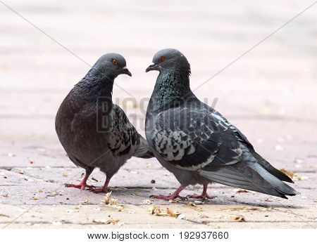 Love of two pigeons on the sidewalk in the city