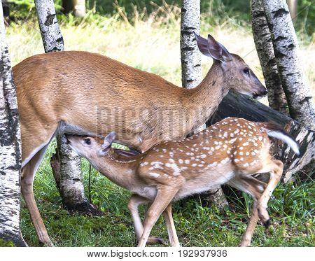 Whitetail Doe Nourishing Her Fawn In Woods