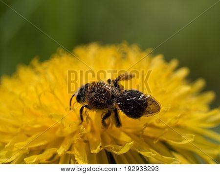 Macro plan of a bee on a dandelion flower