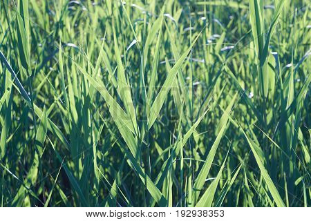 Fresh grass lighted by sunlight close up. Early morning green background