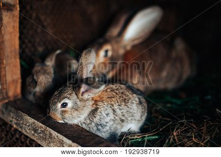 Family rabbits mom and little children live in a pet farm. Concert Eco-meat, breeding rabbits.